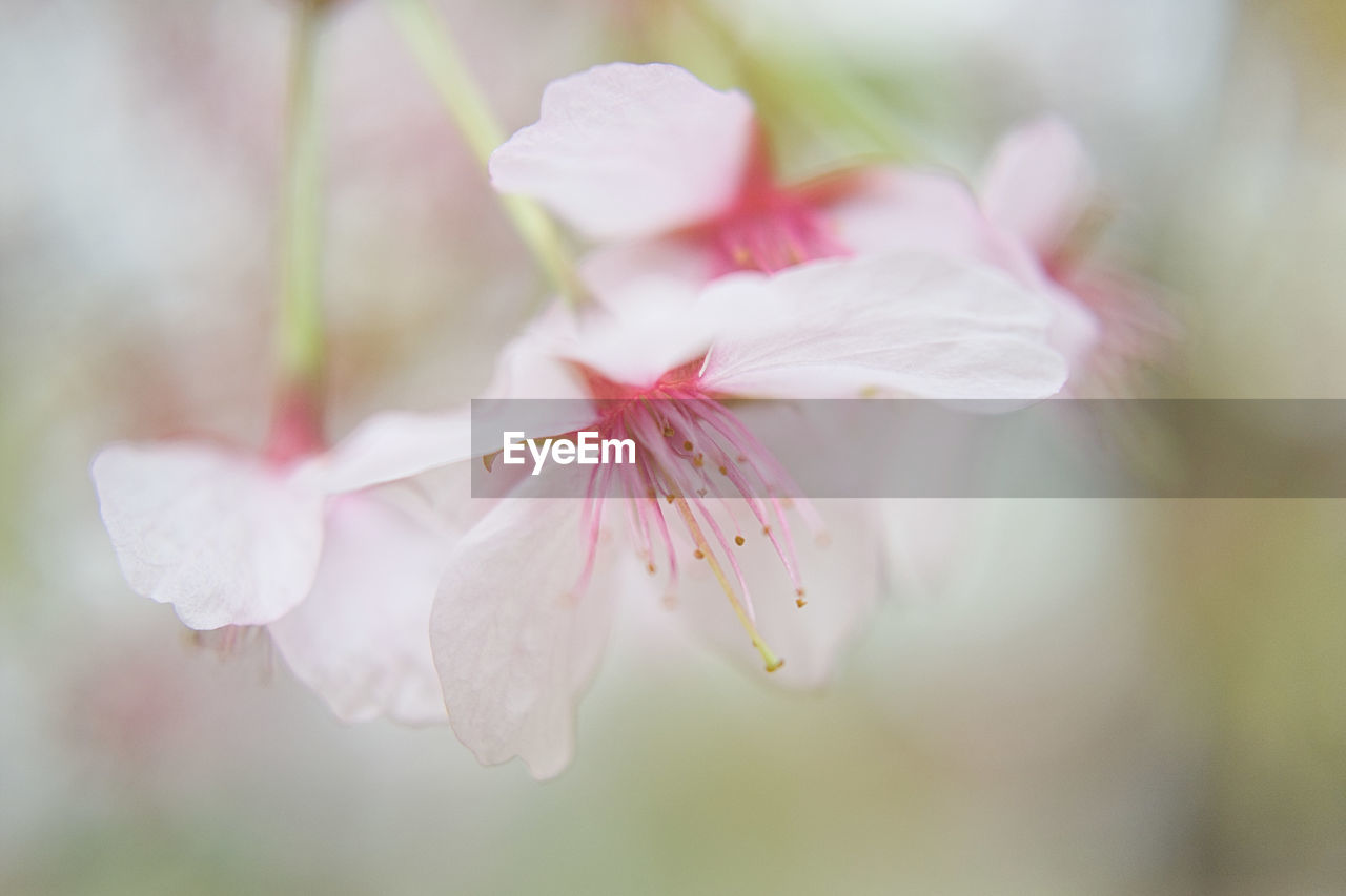 flower, plant, flowering plant, beauty in nature, freshness, fragility, vulnerability, pink color, petal, growth, close-up, selective focus, flower head, inflorescence, blossom, no people, nature, springtime, day, outdoors, cherry blossom, pollen, cherry tree, softness