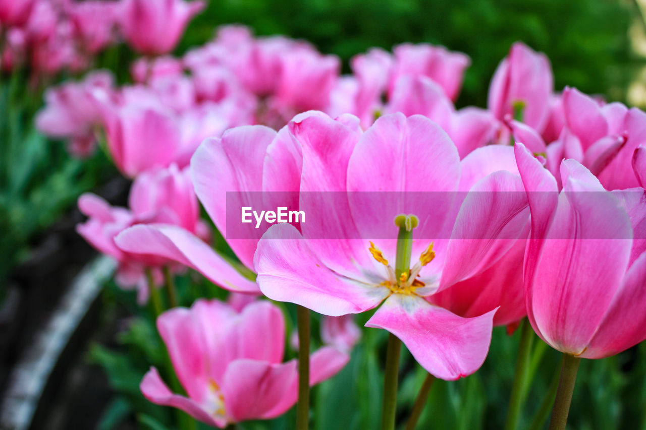 flower, flowering plant, beauty in nature, pink color, plant, freshness, fragility, vulnerability, petal, growth, flower head, inflorescence, close-up, nature, no people, day, botany, focus on foreground, pollen, outdoors