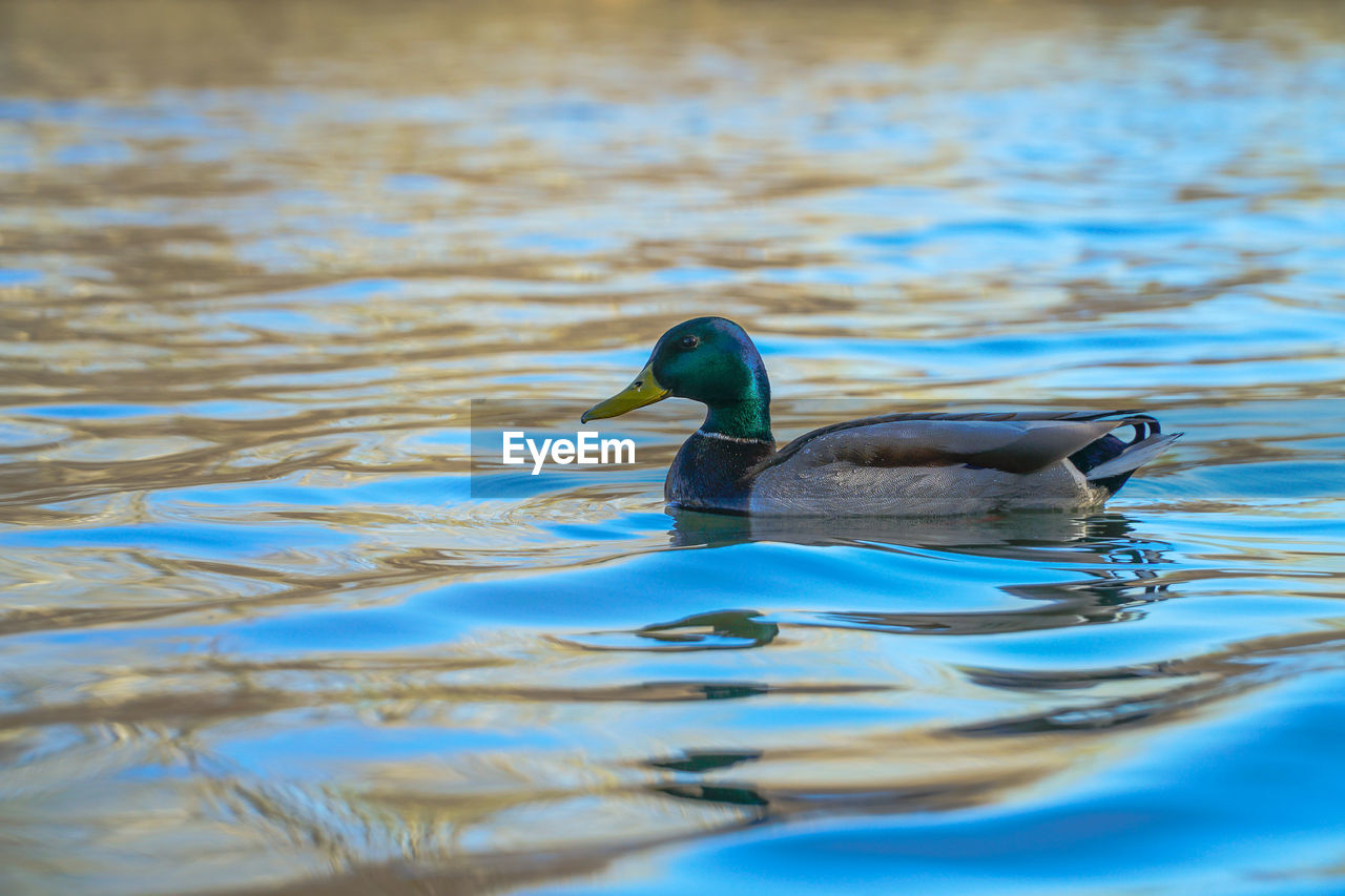 animals in the wild, animal themes, bird, swimming, animal wildlife, waterfront, water, one animal, lake, duck, nature, no people, water bird, day, rippled, outdoors, beauty in nature