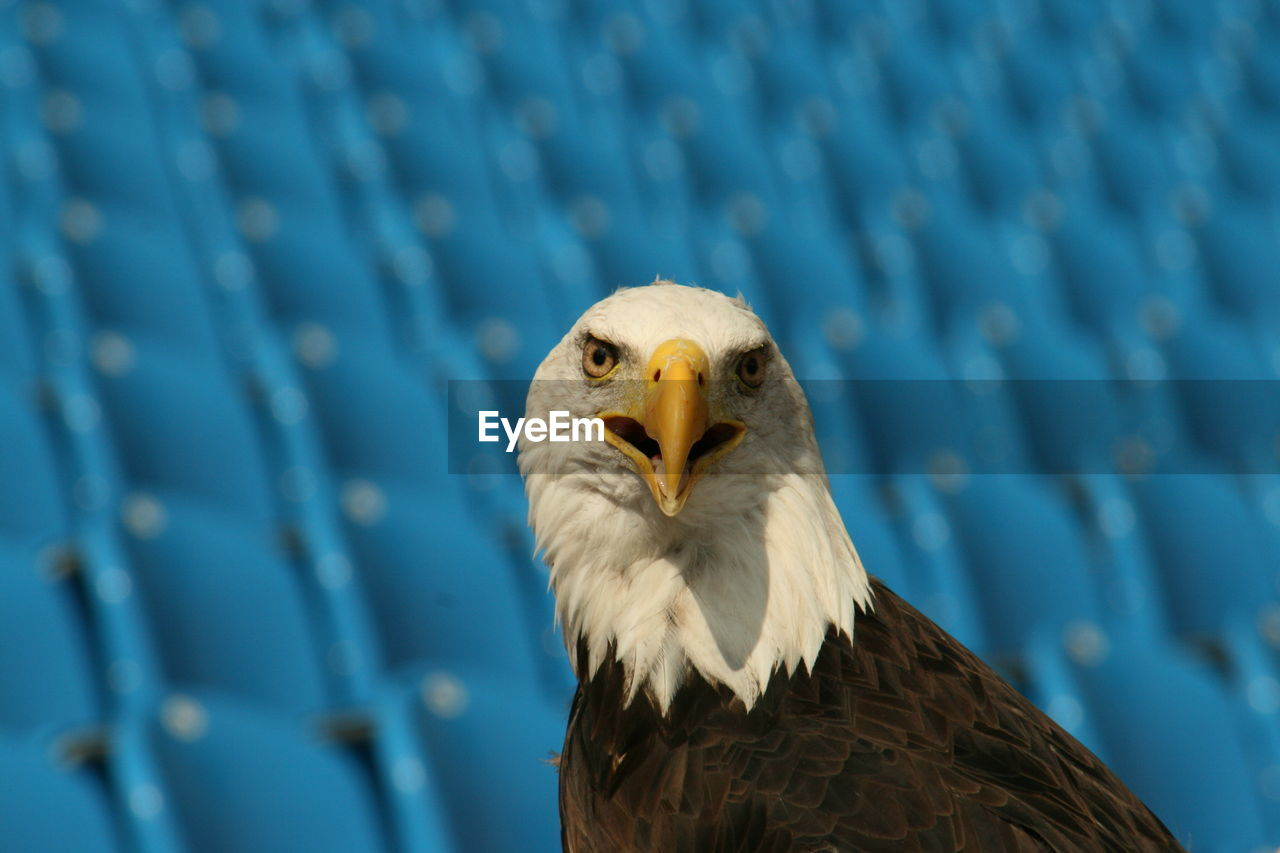 Close-up of eagle against blurred background