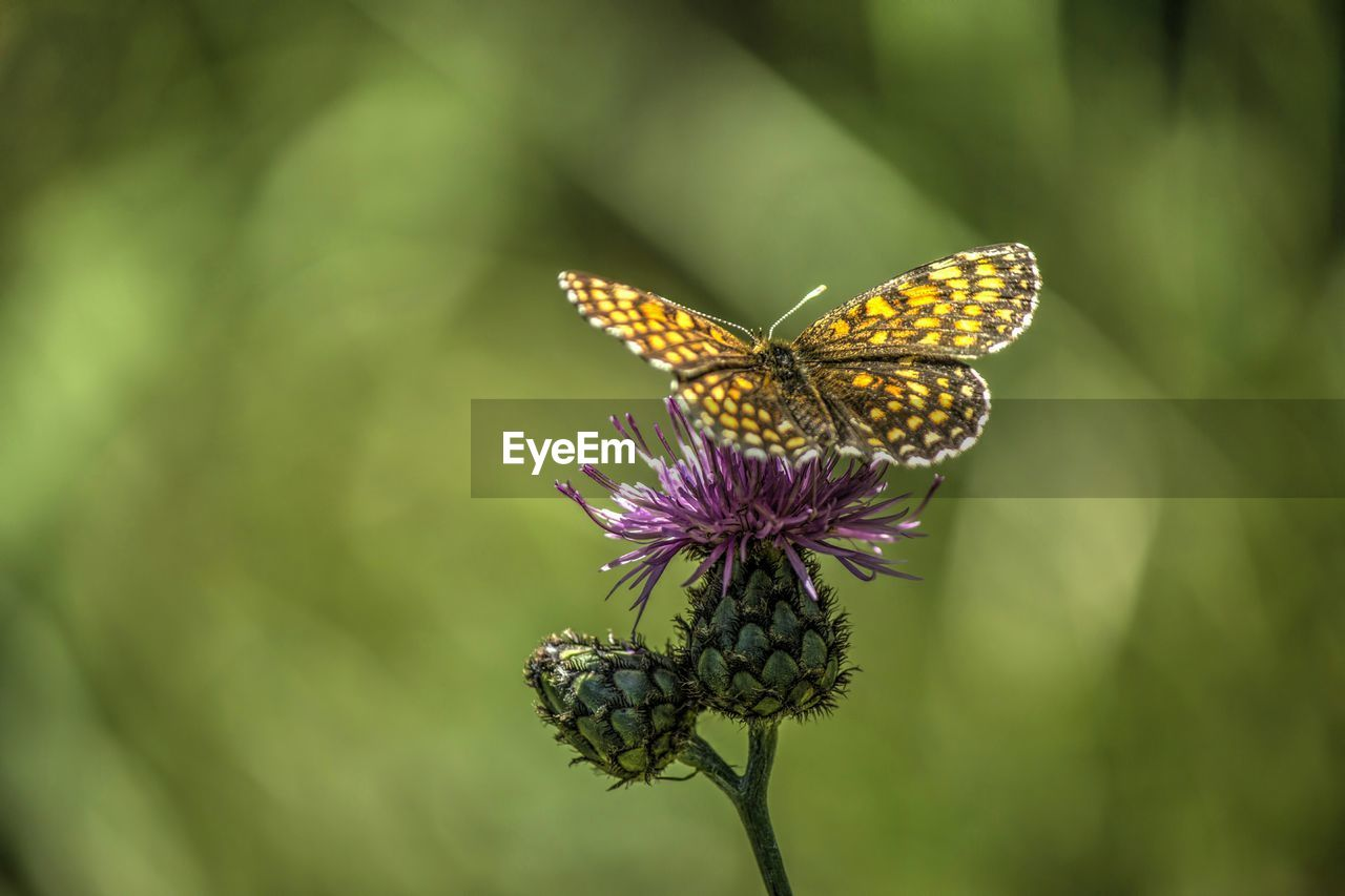 High angle view of butterfly on thistle