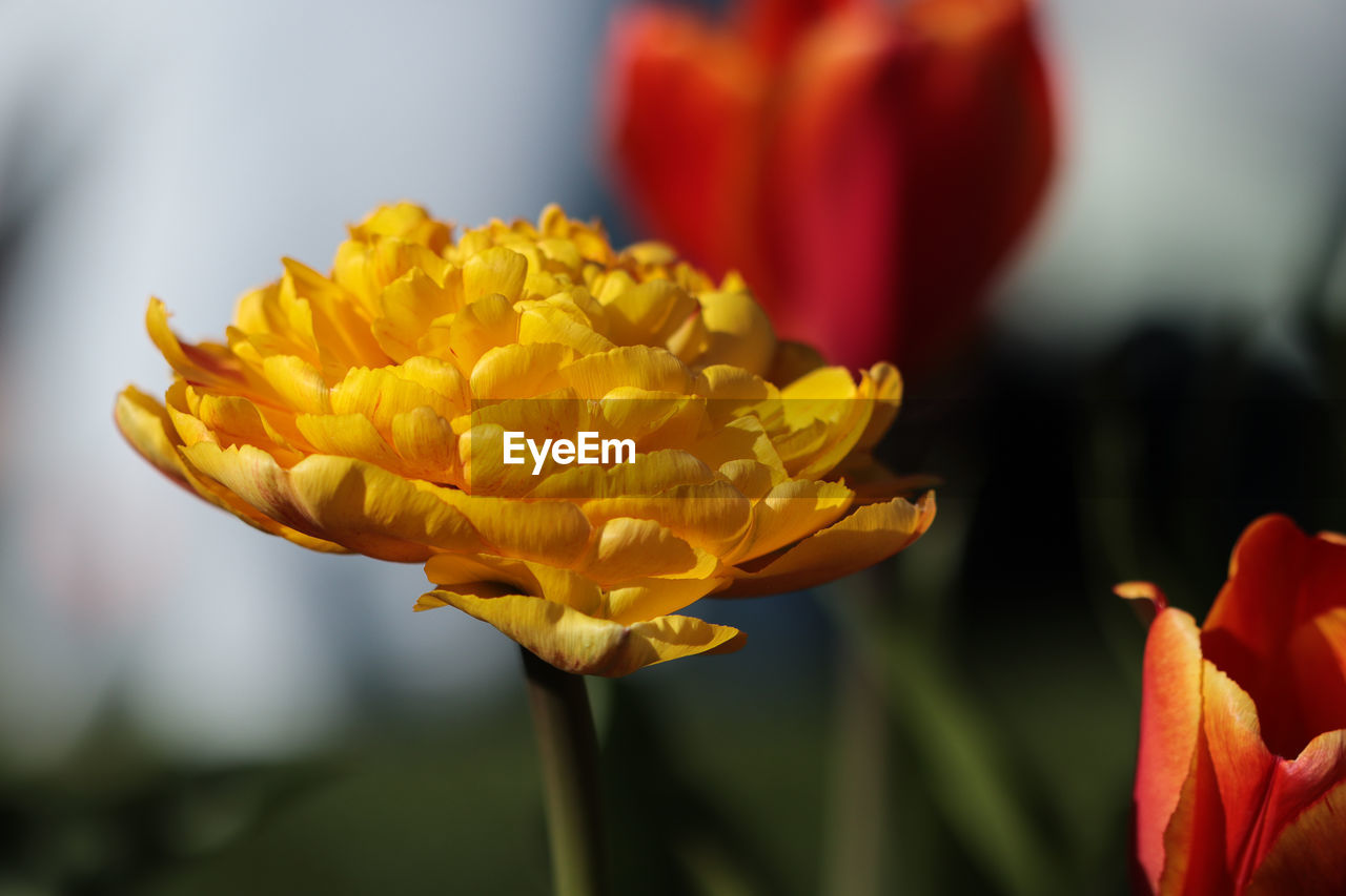 flowering plant, flower, fragility, vulnerability, beauty in nature, petal, plant, freshness, growth, close-up, inflorescence, flower head, yellow, focus on foreground, nature, no people, plant stem, red, tulip, day, outdoors, sepal