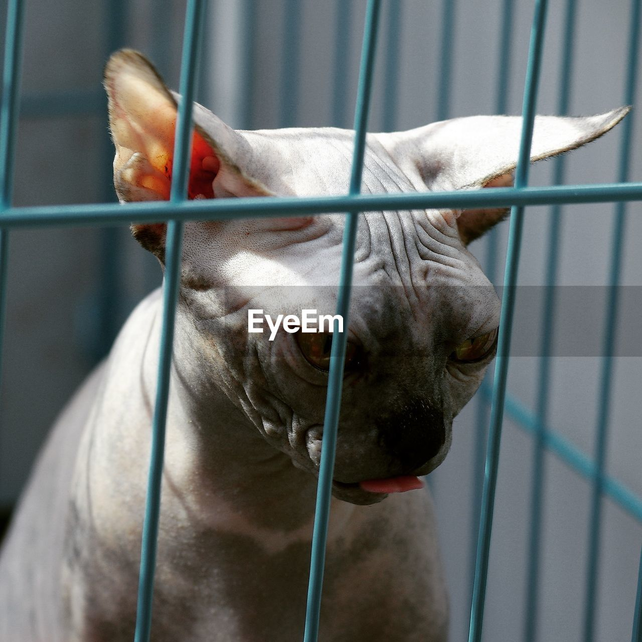 Close-up of sphynx hairless cat in cage