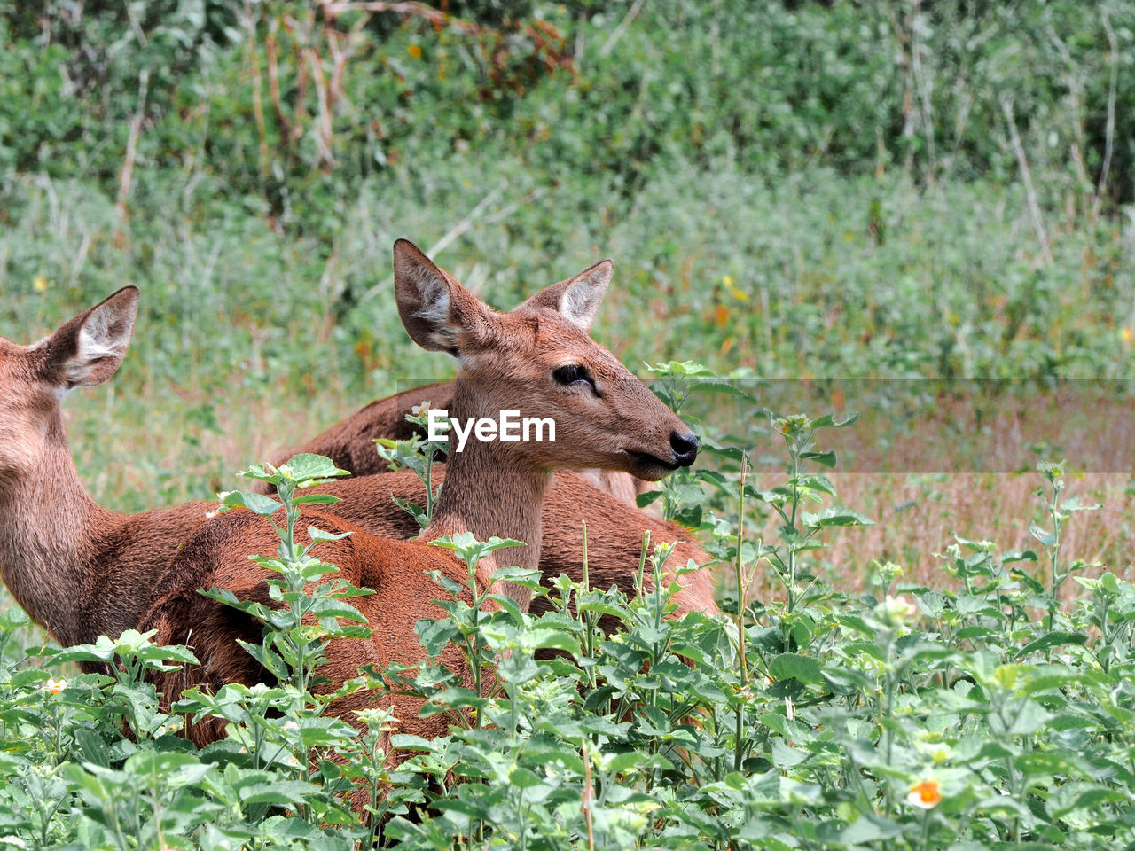 animal, animal themes, animal wildlife, mammal, animals in the wild, plant, vertebrate, one animal, nature, no people, deer, land, day, domestic animals, brown, beauty in nature, young animal, forest, fawn, outdoors, herbivorous, animal family