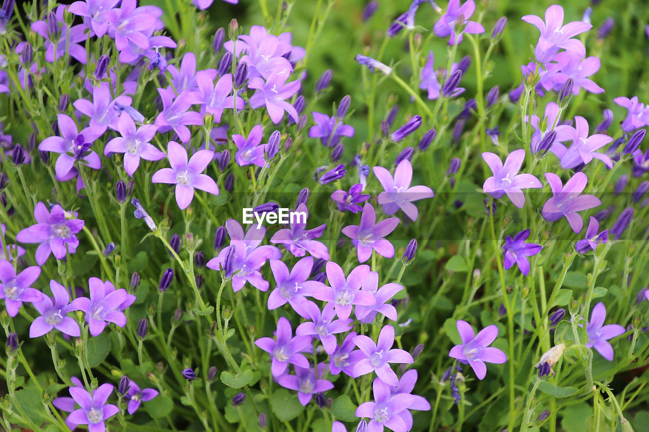 flowering plant, flower, plant, vulnerability, fragility, beauty in nature, freshness, growth, petal, close-up, flower head, inflorescence, no people, nature, purple, land, day, green color, field, plant part, outdoors, springtime, flowerbed