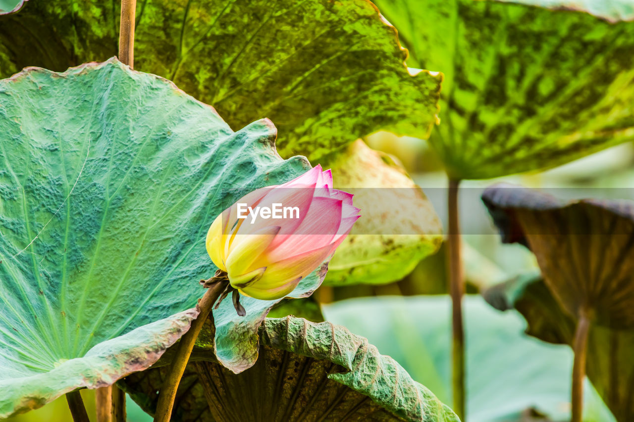 flowering plant, flower, beauty in nature, plant, vulnerability, freshness, fragility, close-up, growth, petal, flower head, inflorescence, plant part, leaf, green color, nature, no people, focus on foreground, pink color, day, outdoors, lotus water lily, sepal