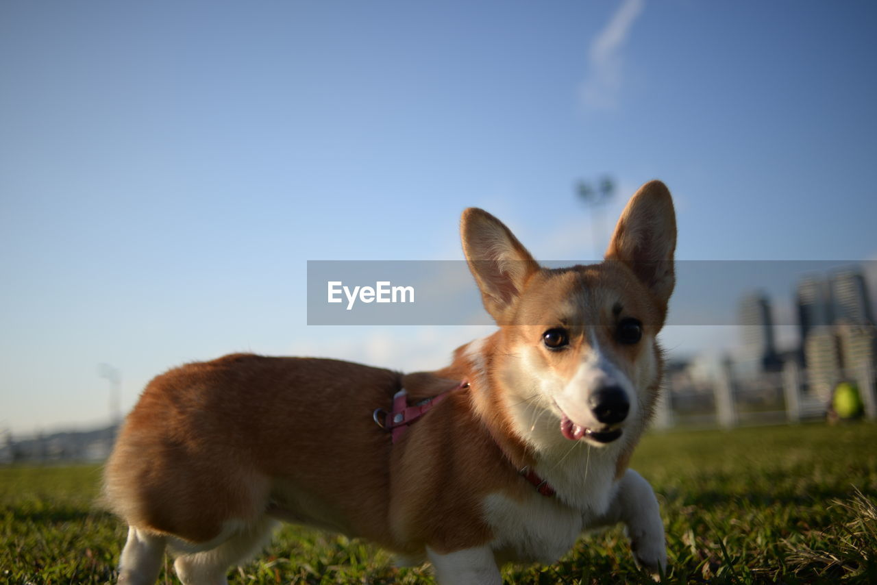 Close-up portrait of dog relaxing on grassy field