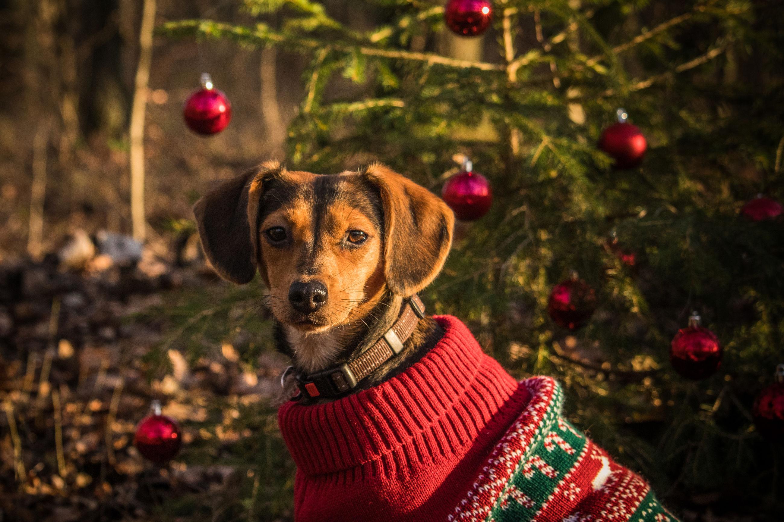 Portrait of dog on christmas tree