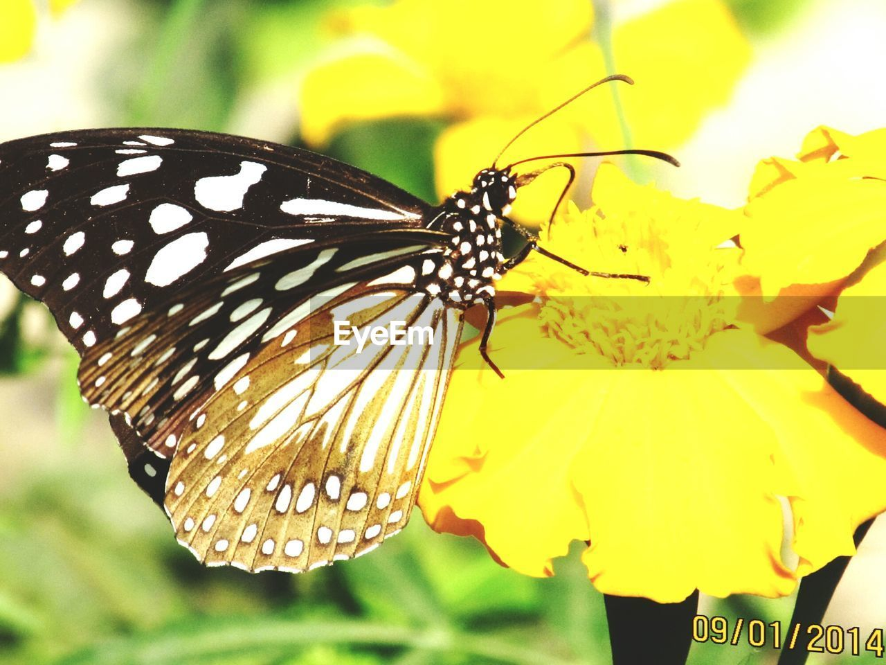 insect, one animal, animal themes, animals in the wild, flower, fragility, close-up, yellow, nature, butterfly - insect, animal wildlife, beauty in nature, freshness, petal, focus on foreground, outdoors, day, no people, plant, flower head, growth, pollination