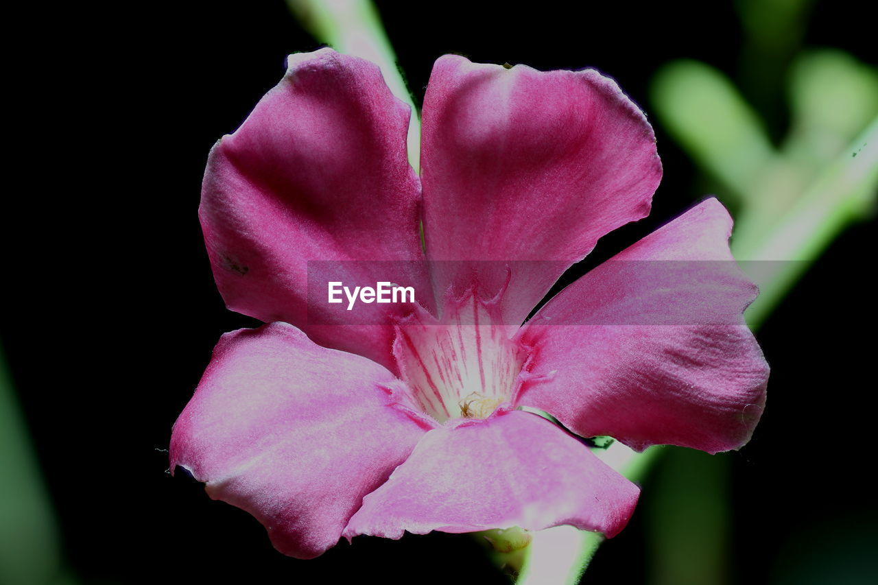 flower, petal, fragility, flower head, beauty in nature, nature, pink color, freshness, growth, plant, no people, close-up, blooming, outdoors, day