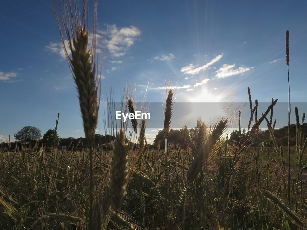 growth, field, nature, farm, agriculture, cereal plant, plant, crop, tranquility, no people, tranquil scene, straw, wheat, beauty in nature, outdoors, landscape, sky, rural scene, day, ear of wheat, scenics, close-up