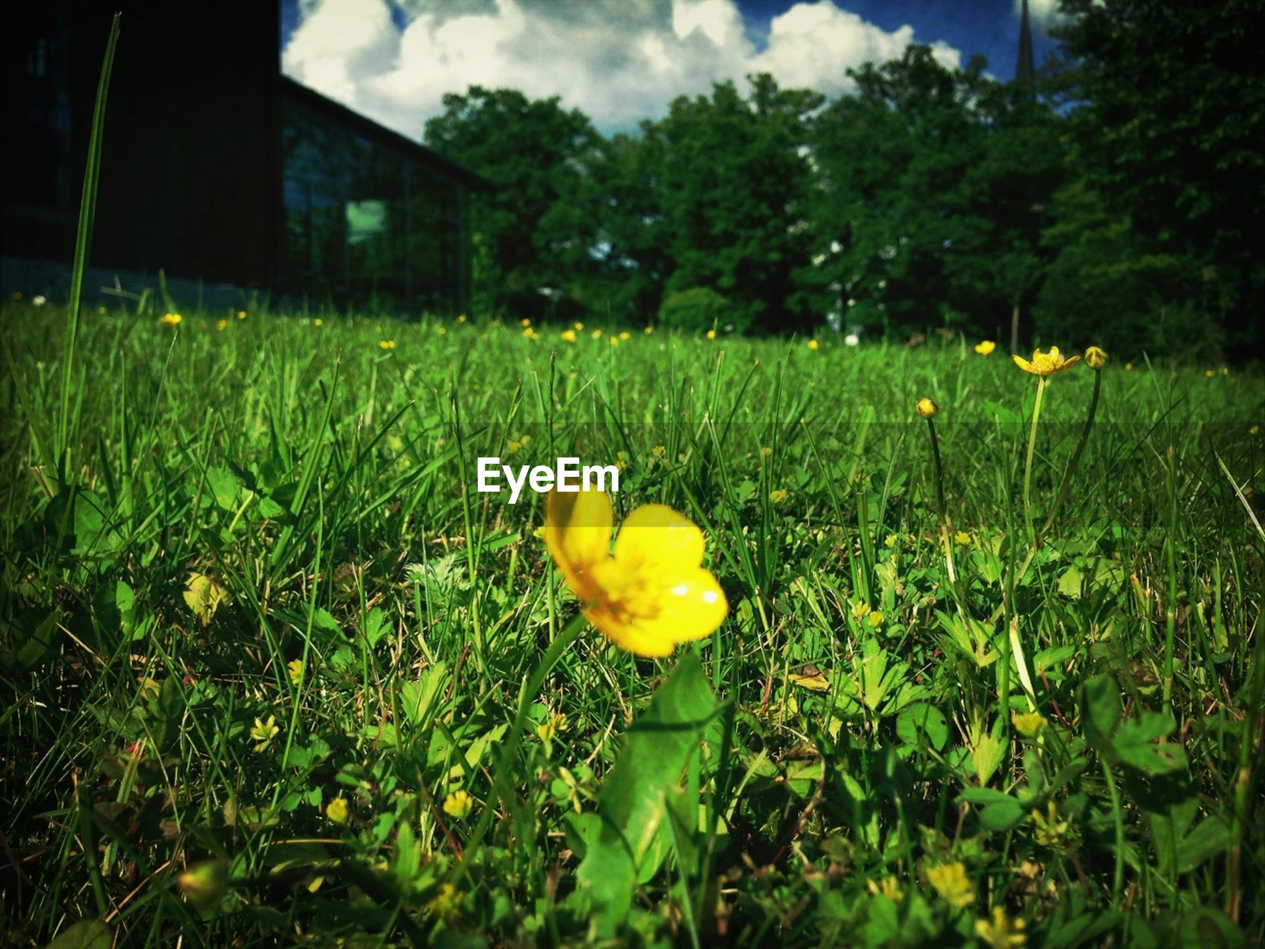 grass, field, flower, growth, green color, yellow, freshness, grassy, plant, beauty in nature, nature, fragility, sky, green, tranquility, landscape, petal, blooming, day, outdoors