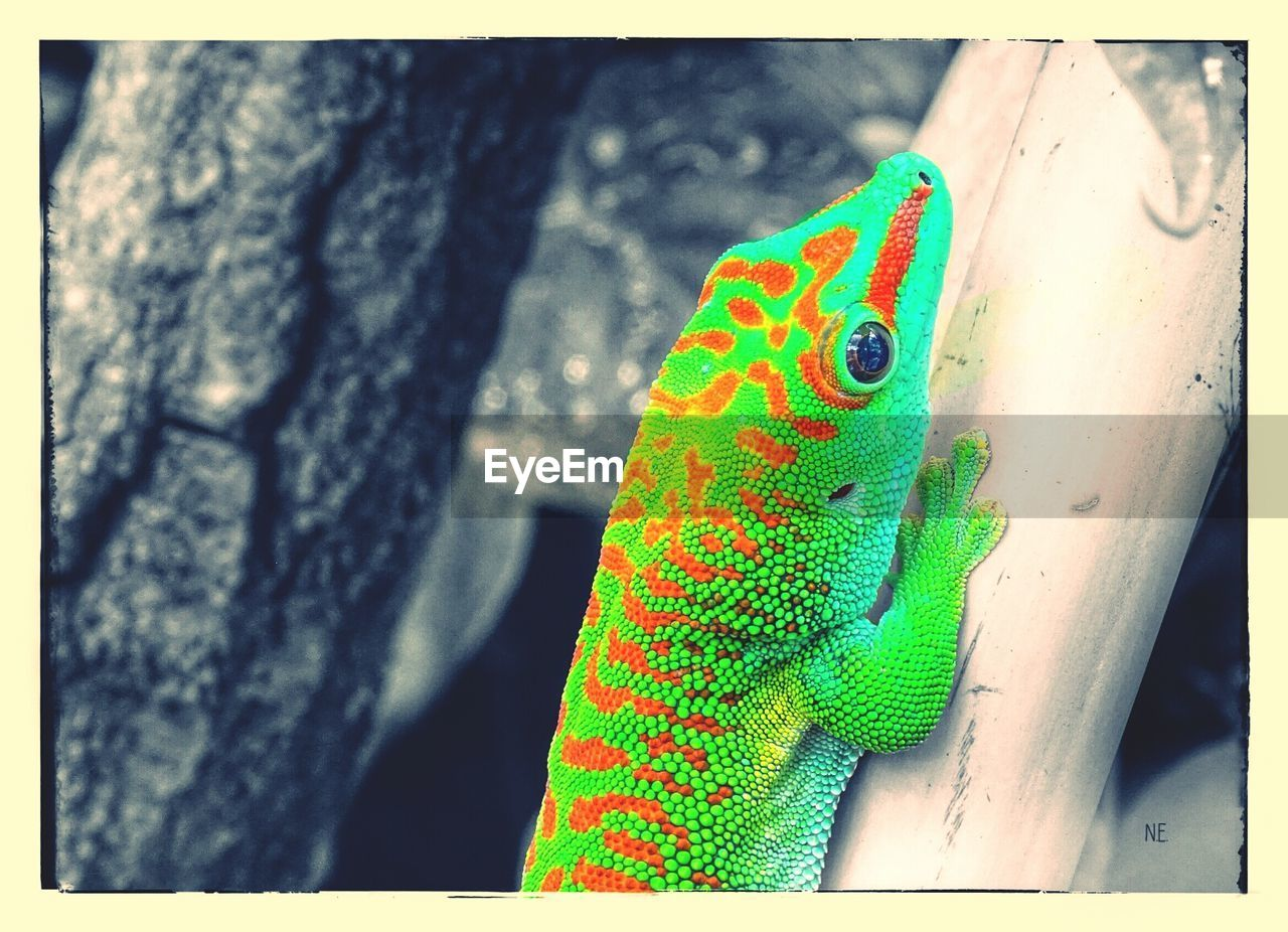 animals in the wild, one animal, animal themes, reptile, day, green color, lizard, outdoors, close-up, animal wildlife, nature, focus on foreground, no people, chameleon, tree trunk, multi colored, tree