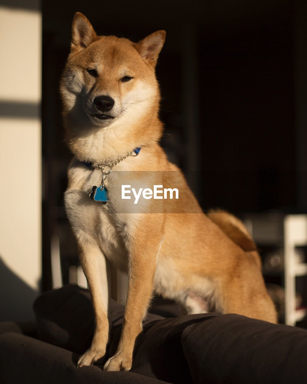 mammal, domestic animals, one animal, pets, dog, canine, domestic, vertebrate, sitting, no people, indoors, focus on foreground, relaxation, collar, pet collar, looking away, looking