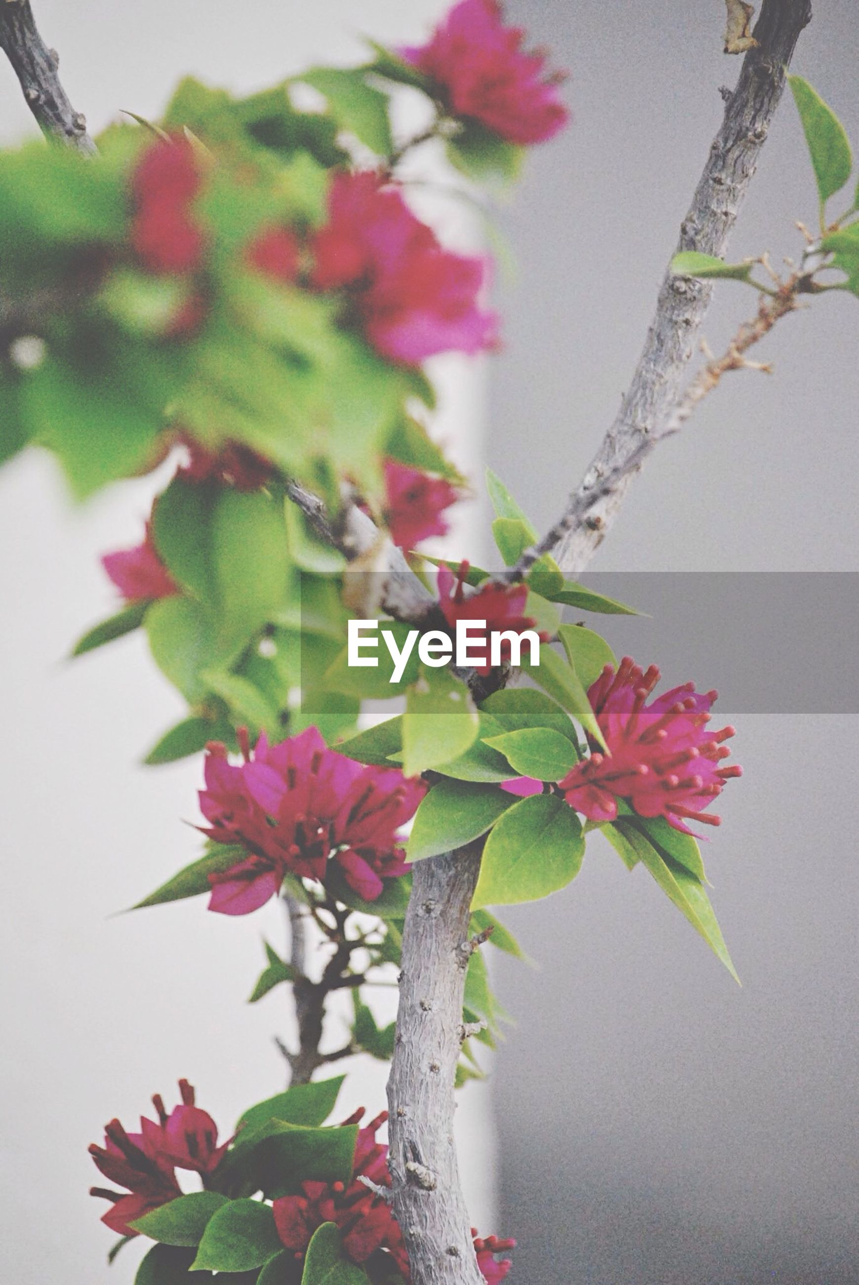 flower, growth, leaf, freshness, fragility, branch, close-up, focus on foreground, nature, beauty in nature, pink color, plant, petal, stem, low angle view, twig, day, blooming, bud, in bloom