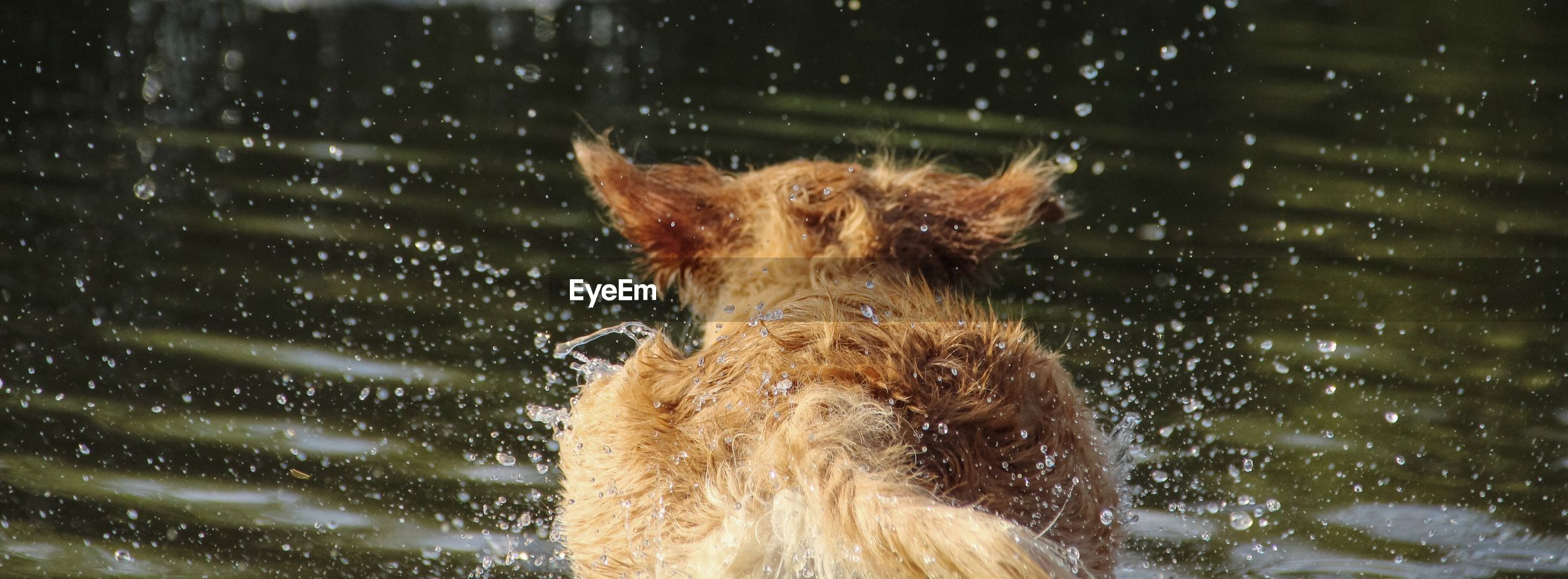 Rear view of dog running in water