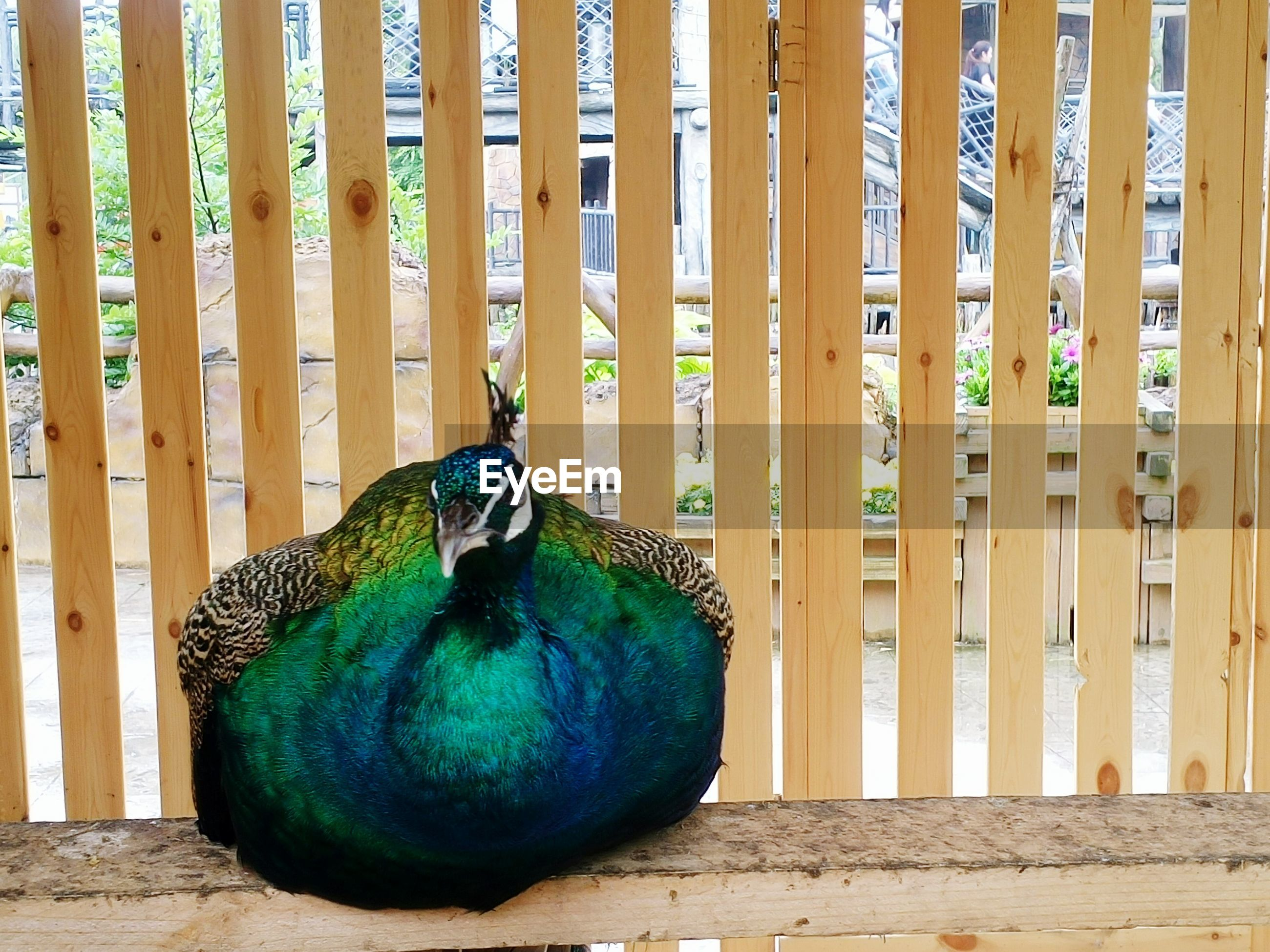 Close-up of peacock perching on wooden railing