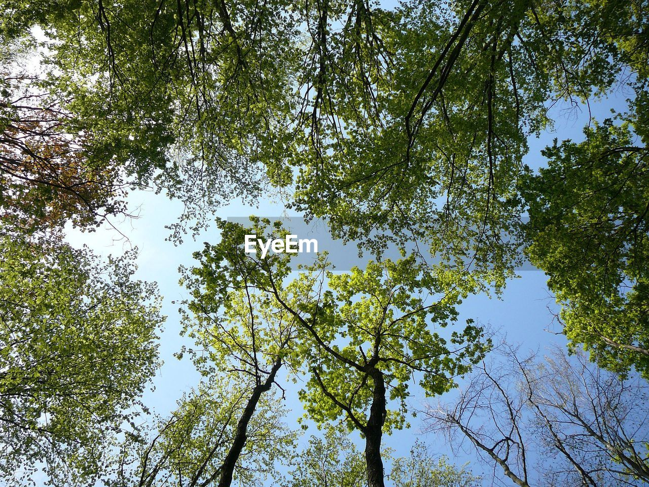 tree, plant, low angle view, growth, beauty in nature, sky, nature, branch, day, tranquility, no people, outdoors, forest, land, tree canopy, green color, idyllic, sunlight, clear sky, scenics - nature, directly below, high, spring