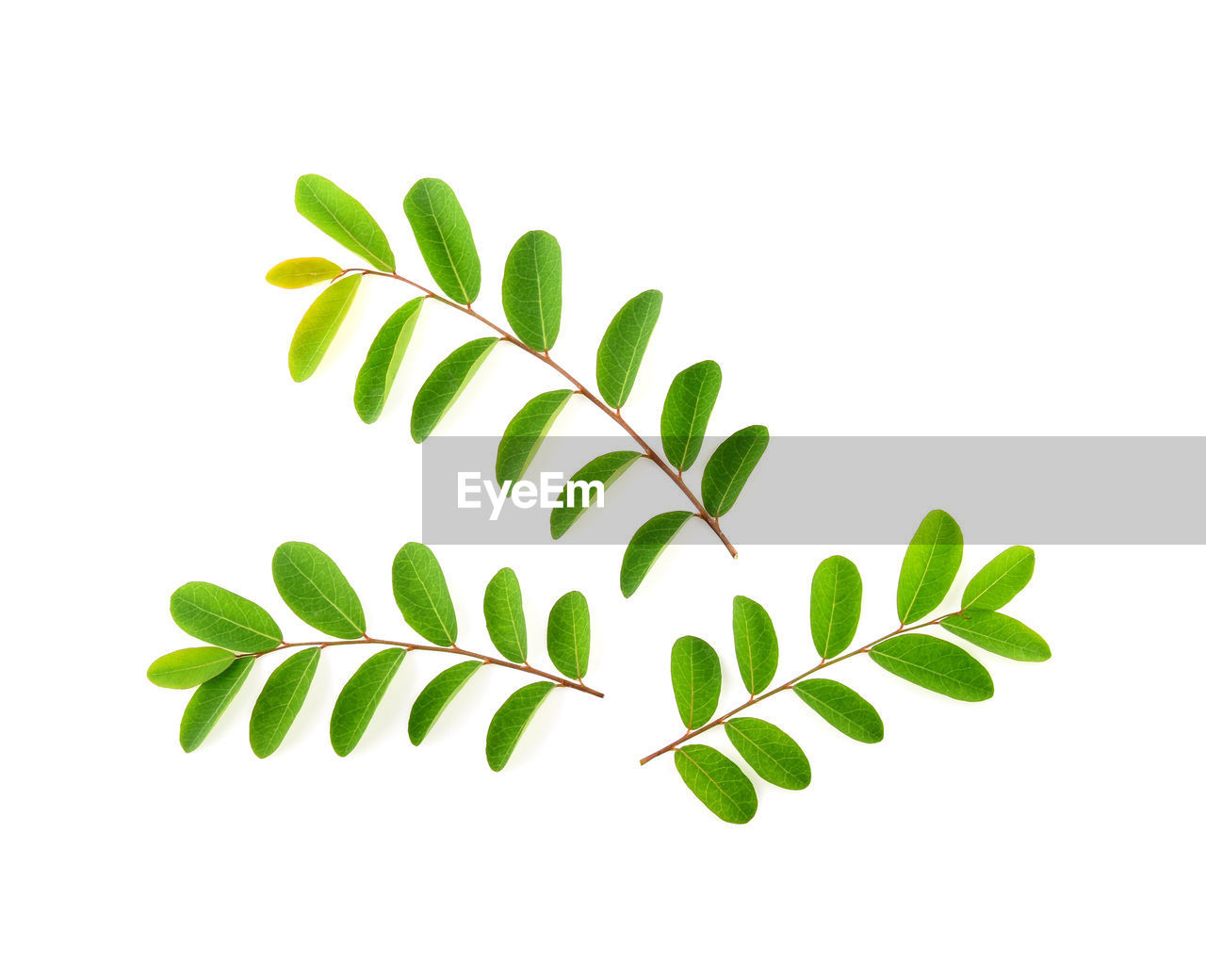 plant part, leaf, green color, white background, plant, studio shot, close-up, growth, no people, nature, indoors, beauty in nature, cut out, freshness, copy space, leaves, vulnerability, fragility, herb
