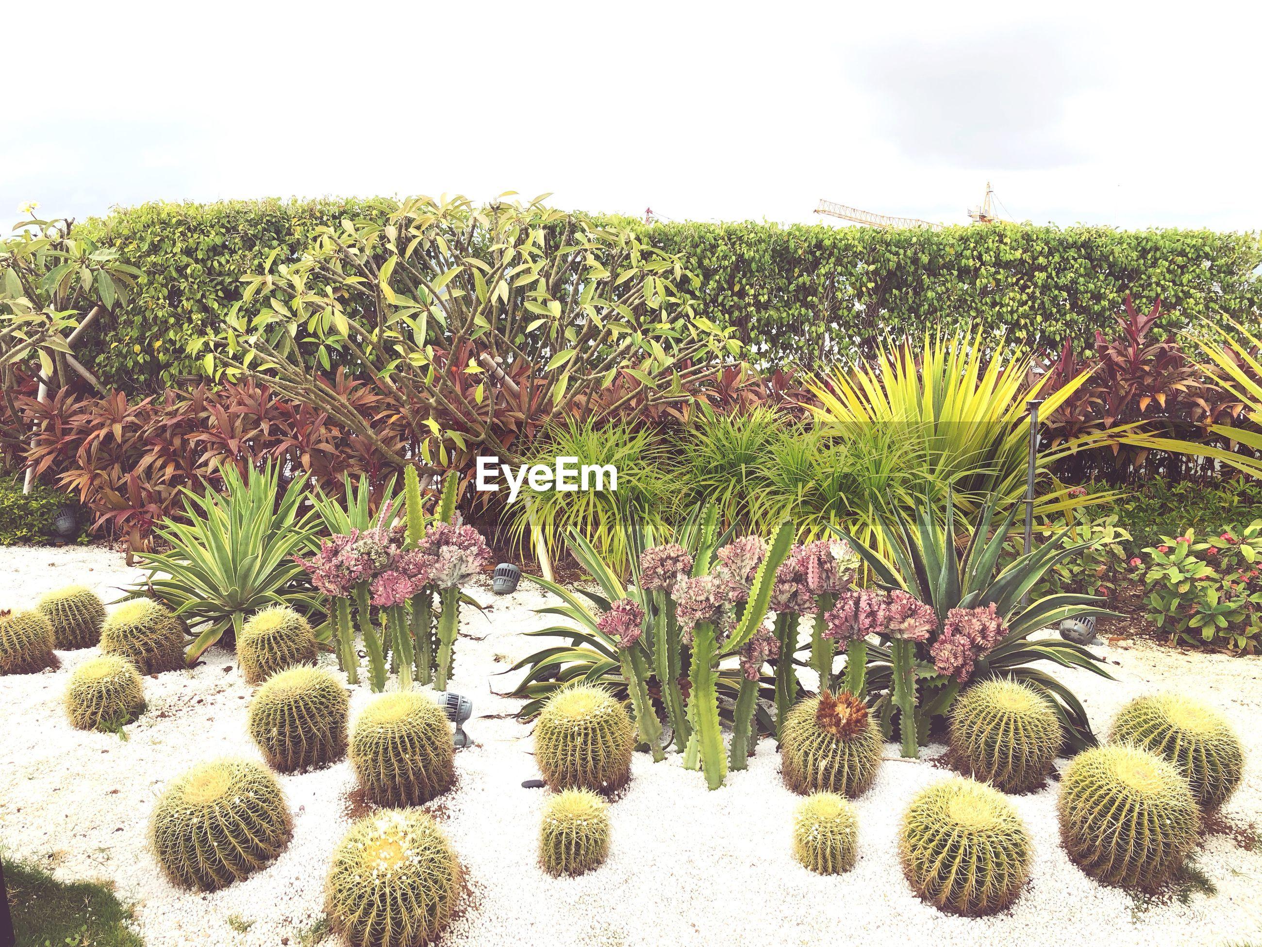 CACTUS PLANTS GROWING ON FIELD