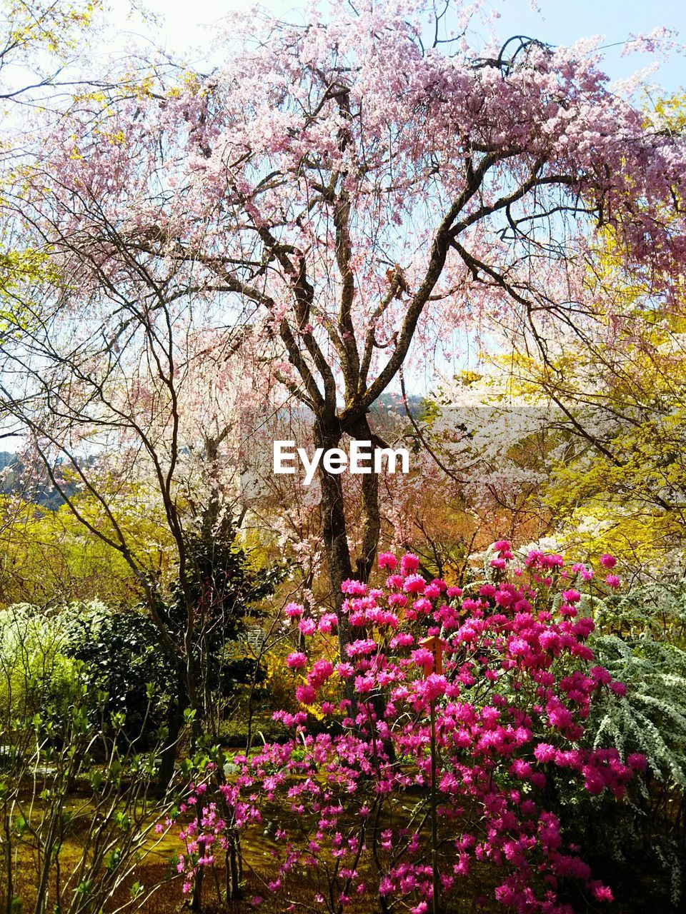 plant, flower, flowering plant, tree, growth, beauty in nature, freshness, pink color, fragility, nature, vulnerability, blossom, tranquility, park, day, springtime, branch, no people, park - man made space, botany, outdoors, cherry blossom, cherry tree, spring