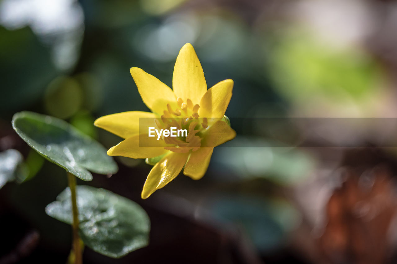flower, flowering plant, yellow, beauty in nature, plant, freshness, vulnerability, fragility, close-up, growth, petal, inflorescence, flower head, focus on foreground, nature, leaf, plant part, no people, selective focus, day