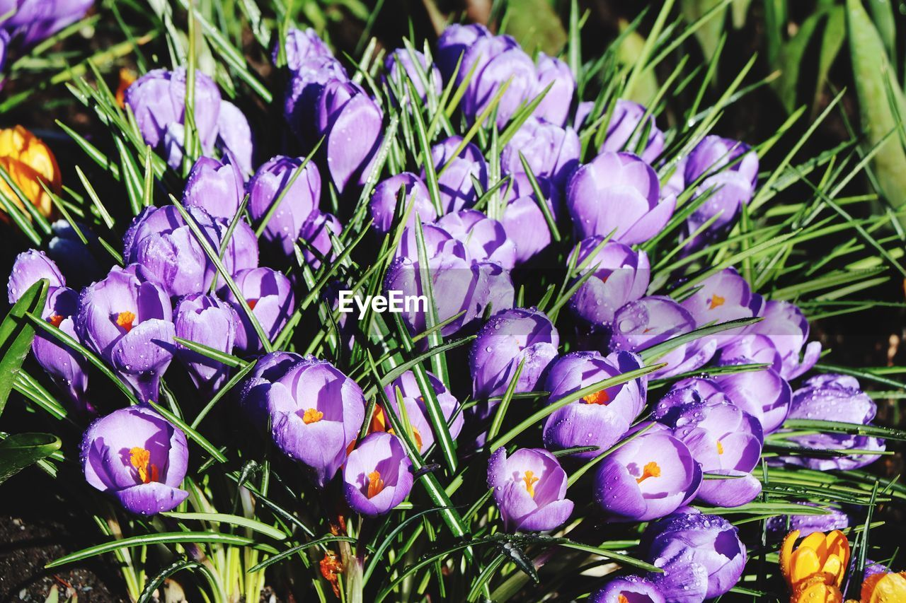 flower, purple, freshness, day, outdoors, no people, fragility, nature, growth, beauty in nature, petal, flower head, close-up, plant, crocus