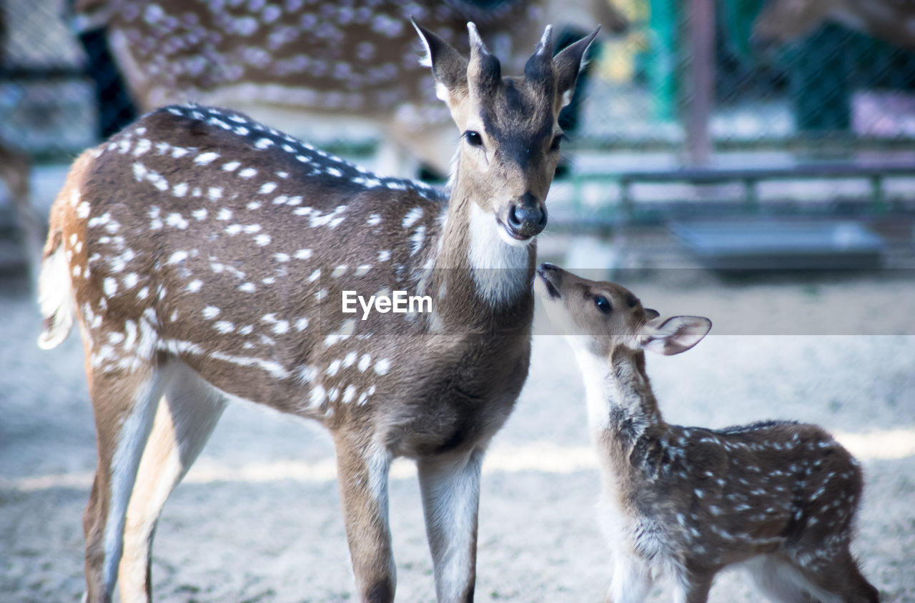 animal, animal wildlife, animal themes, animals in the wild, deer, group of animals, mammal, vertebrate, two animals, focus on foreground, fawn, young animal, spotted, standing, no people, land, day, nature, field, herbivorous, outdoors, animal family