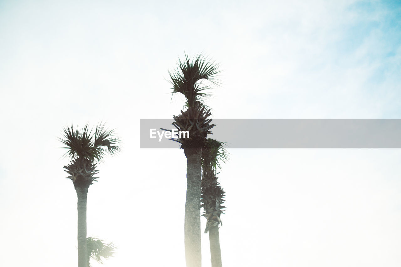 sky, plant, growth, tropical climate, palm tree, low angle view, no people, nature, beauty in nature, tree, day, copy space, tranquility, tree trunk, trunk, outdoors, tall - high, clear sky, plant stem, scenics - nature, tropical tree, coconut palm tree