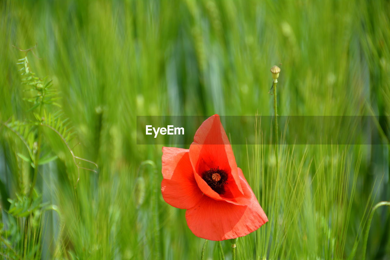 growth, nature, green color, plant, petal, field, flower, beauty in nature, grass, day, flower head, red, fragility, freshness, focus on foreground, no people, outdoors, close-up, blooming, poppy