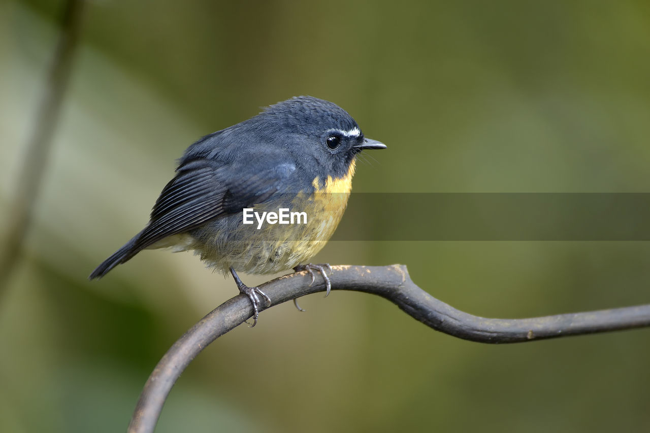 bird, animal themes, vertebrate, animal, animal wildlife, one animal, animals in the wild, perching, focus on foreground, no people, day, close-up, black color, plant, branch, outdoors, nature, tree, gray, full length, animal eye