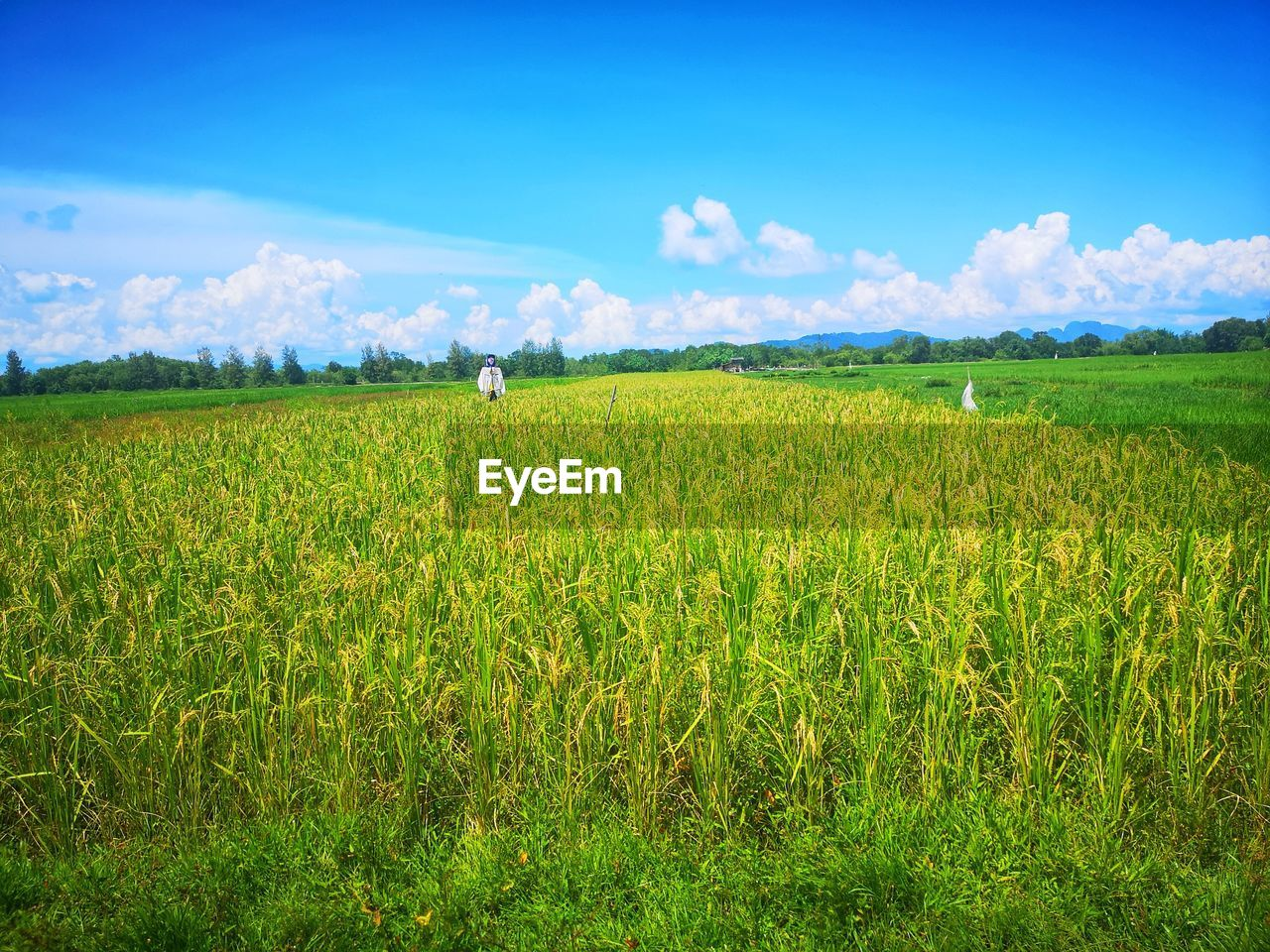 field, plant, land, landscape, sky, growth, green color, agriculture, beauty in nature, environment, scenics - nature, rural scene, tranquility, tranquil scene, cloud - sky, nature, crop, farm, day, grass, no people, outdoors, plantation
