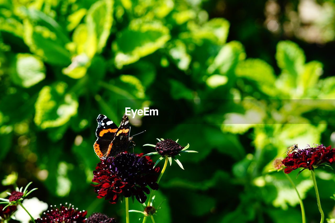flowering plant, plant, flower, invertebrate, growth, animals in the wild, insect, animal themes, animal wildlife, animal, freshness, beauty in nature, one animal, flower head, fragility, vulnerability, focus on foreground, close-up, pollination, no people, animal wing, butterfly - insect