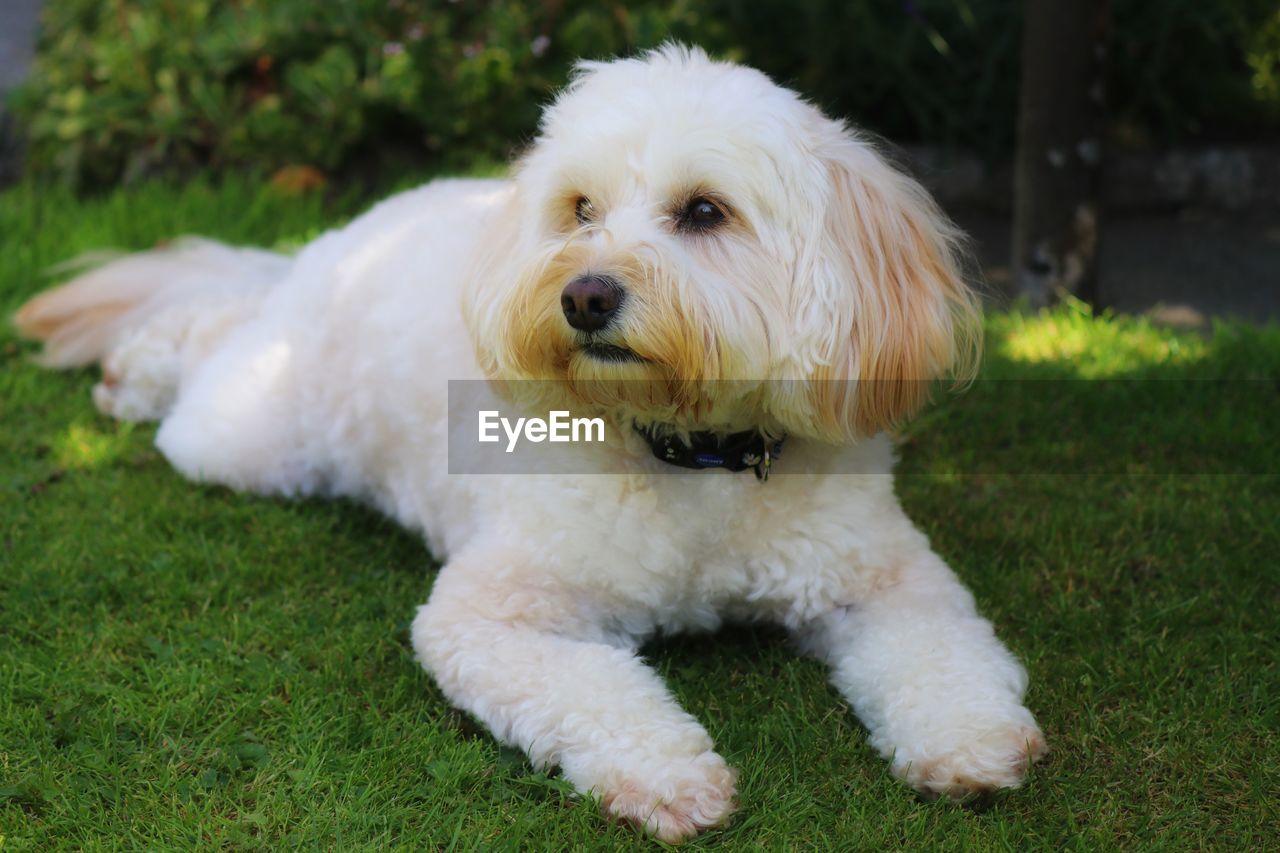 PORTRAIT OF A DOG LYING ON FIELD