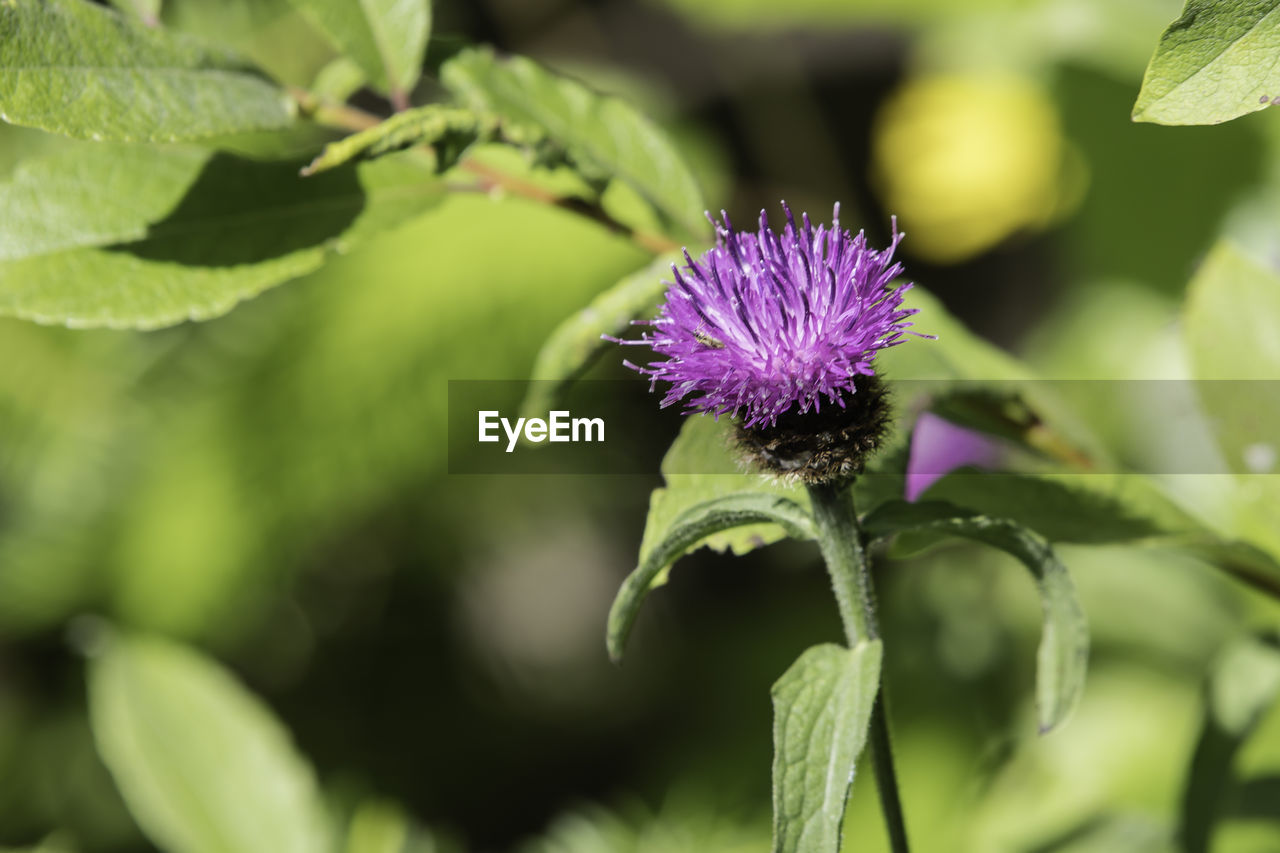 flower, nature, growth, beauty in nature, plant, purple, fragility, day, leaf, green color, freshness, outdoors, focus on foreground, petal, no people, selective focus, flower head, one animal, thistle, close-up, blooming, animal themes