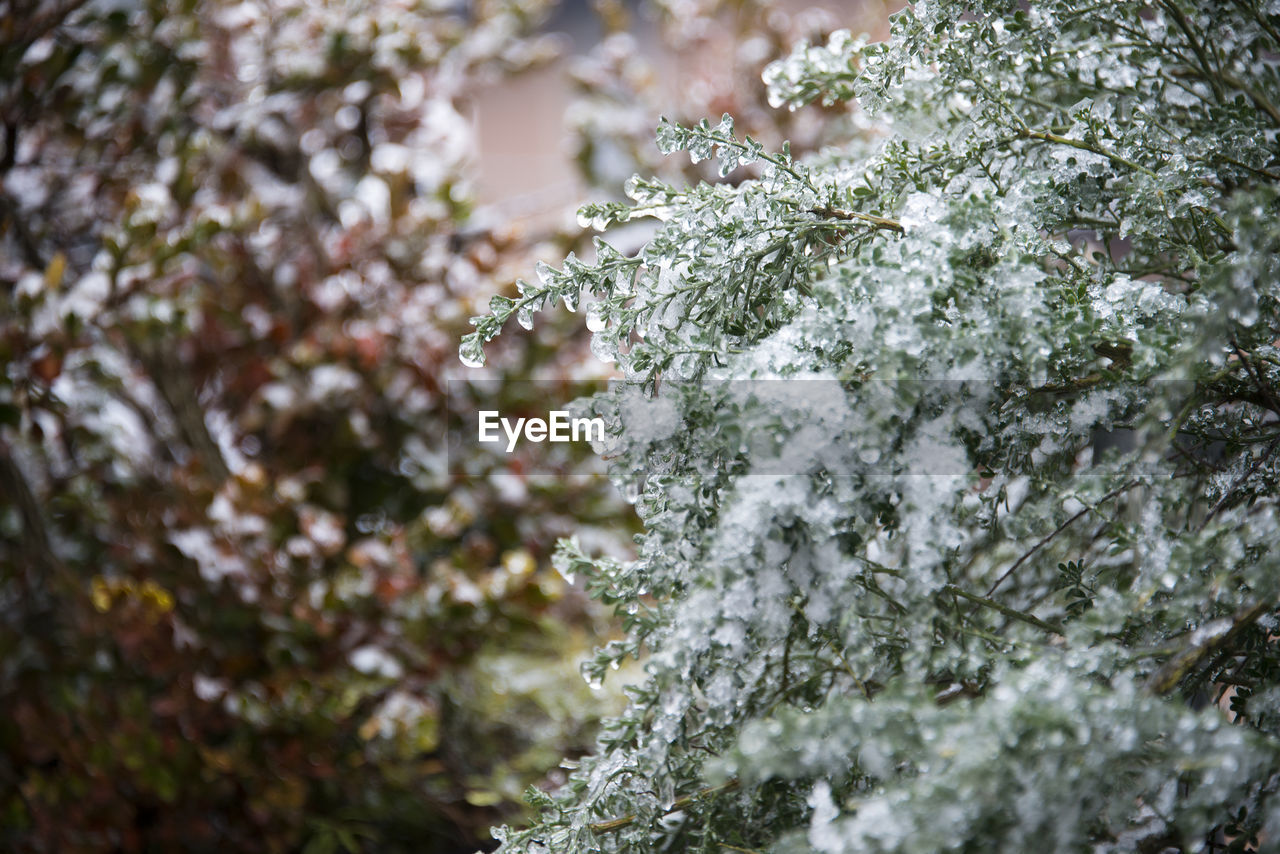 Close-Up Of Snow On Branch Against Trees In Forest