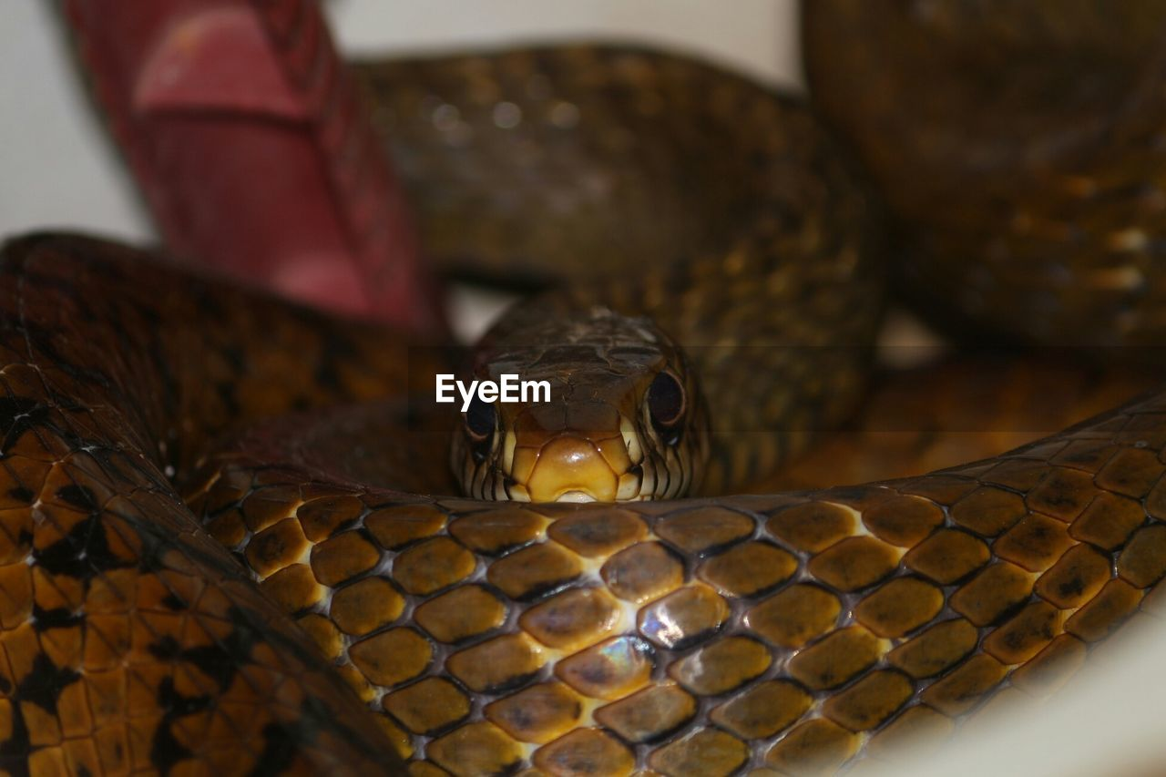 reptile, animal themes, one animal, animal wildlife, animals in the wild, no people, close-up, day, indoors, nature, mammal