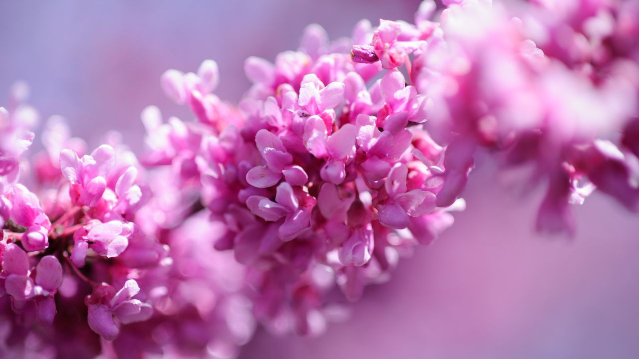 flower, beauty in nature, fragility, pink color, nature, petal, selective focus, no people, freshness, close-up, growth, blossom, plant, springtime, day, outdoors, lilac, branch, flower head, tree