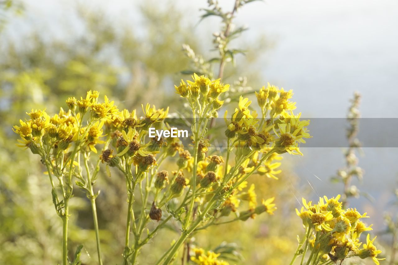 growth, nature, plant, flower, yellow, outdoors, field, day, no people, beauty in nature, focus on foreground, fragility, agriculture, freshness, close-up