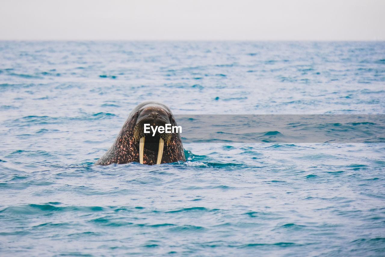 Walrus Swimming In Sea