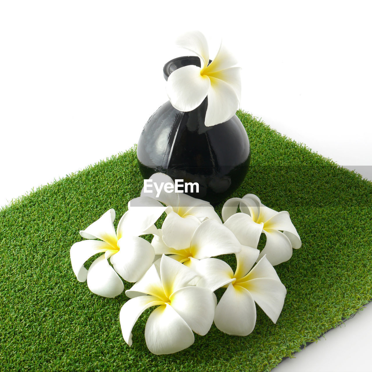 plant, flowering plant, flower, beauty in nature, freshness, white color, vulnerability, fragility, nature, inflorescence, petal, flower head, frangipani, green color, close-up, high angle view, no people, grass, white background, growth