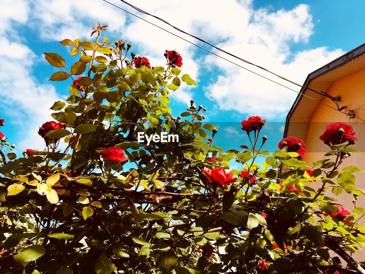 sky, plant, growth, tree, low angle view, nature, freshness, cloud - sky, flower, fruit, food and drink, flowering plant, healthy eating, food, beauty in nature, no people, day, red, plant part, leaf, outdoors, ripe