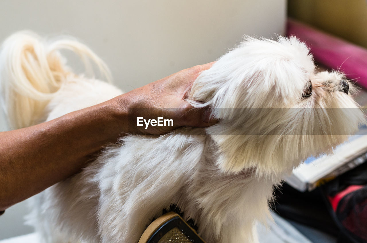 pets, domestic, domestic animals, one animal, mammal, canine, dog, animal themes, real people, animal, human hand, one person, indoors, vertebrate, animal hair, human body part, hand, close-up, lifestyles, focus on foreground, pet owner, shih tzu