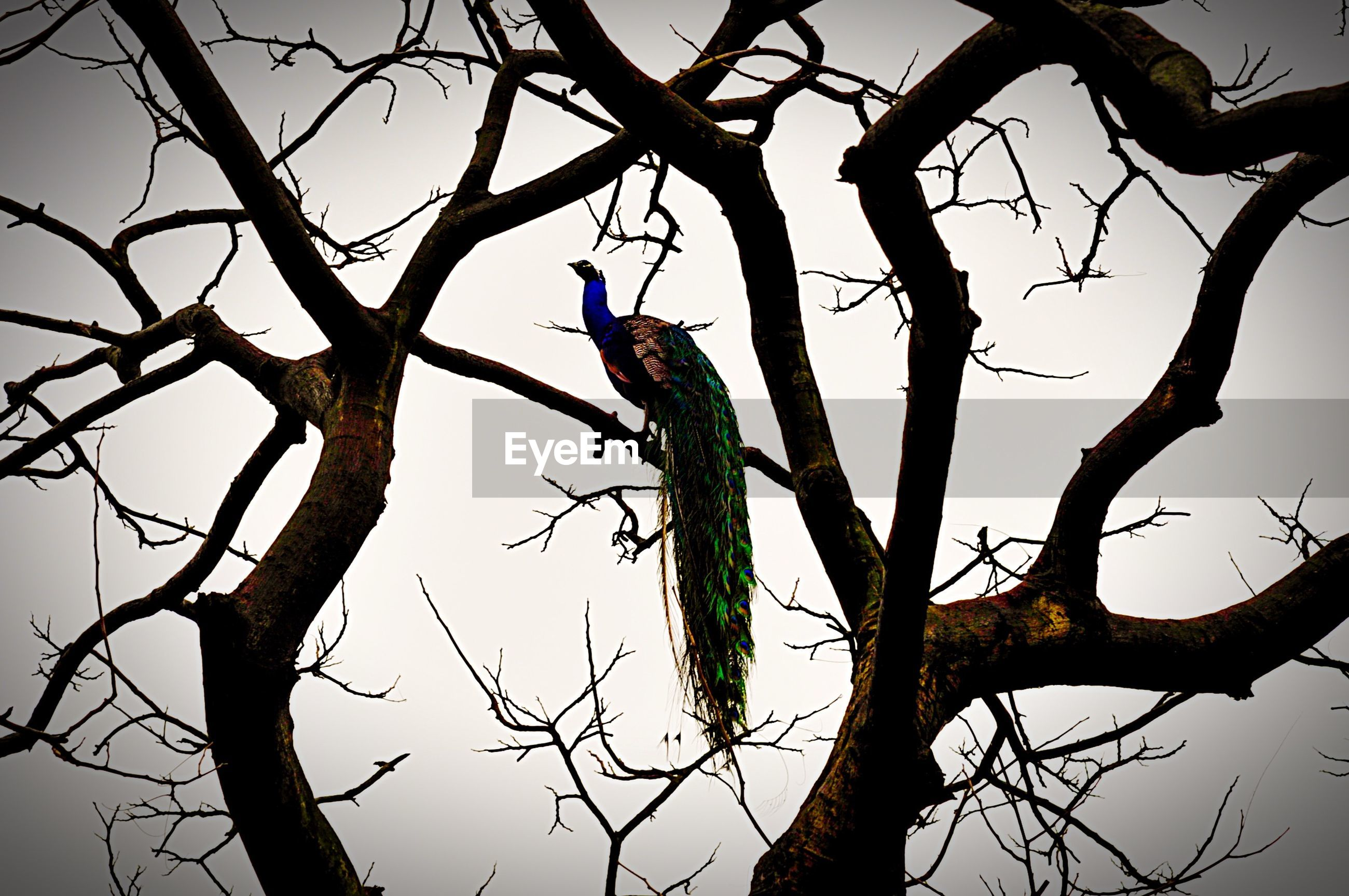 Low angle view of peacock on bare tree