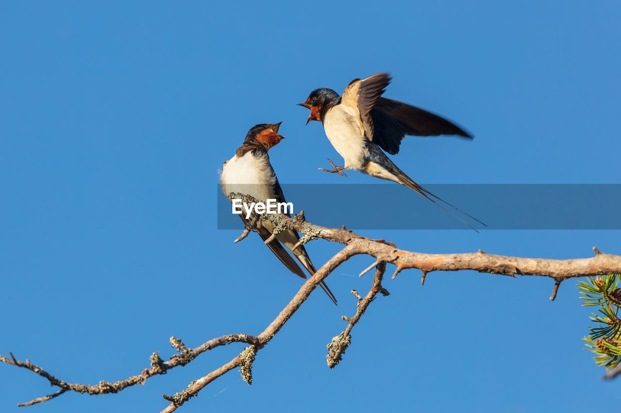 bird, vertebrate, animal themes, animal, animal wildlife, low angle view, animals in the wild, tree, sky, clear sky, branch, perching, blue, plant, no people, nature, group of animals, day, two animals, outdoors