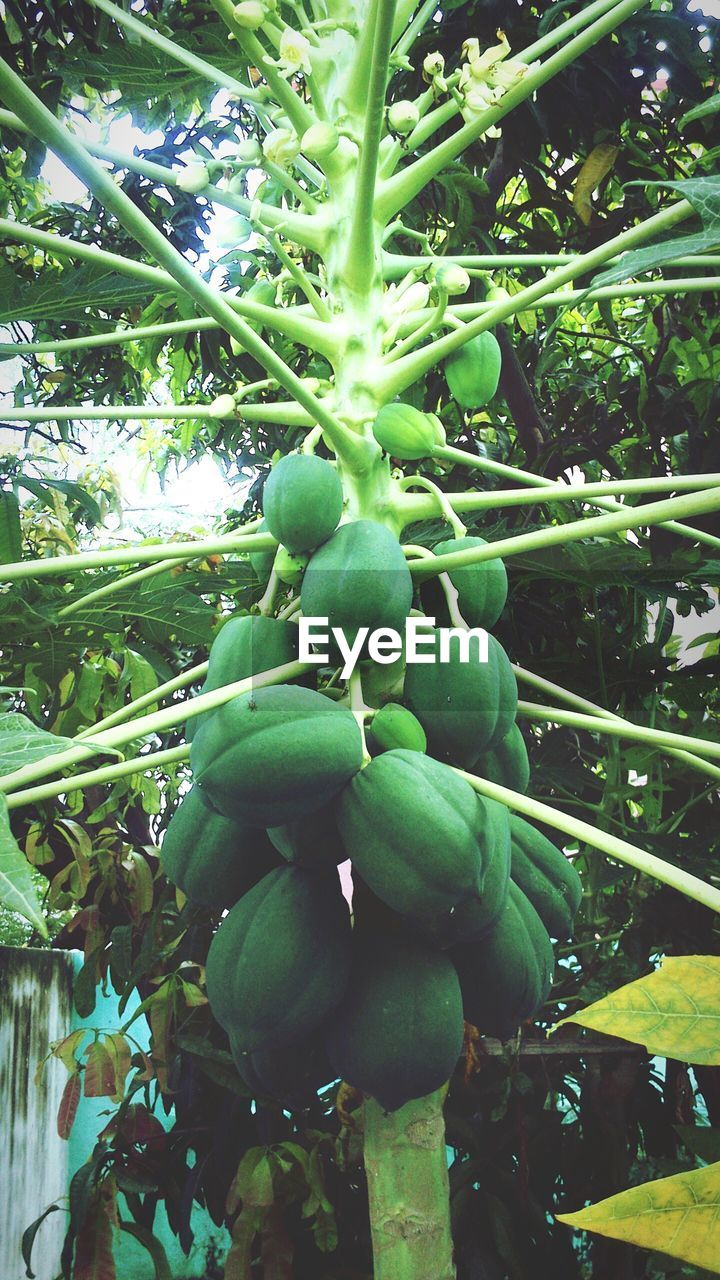 fruit, tree, green color, growth, food and drink, food, leaf, growing, nature, plant, unripe, no people, day, healthy eating, freshness, low angle view, beauty in nature, outdoors, close-up