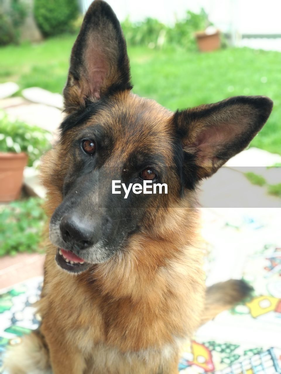 one animal, domestic animals, domestic, pets, mammal, dog, canine, animal themes, animal, german shepherd, vertebrate, portrait, focus on foreground, looking, close-up, animal head, looking at camera, animal body part, no people, snout