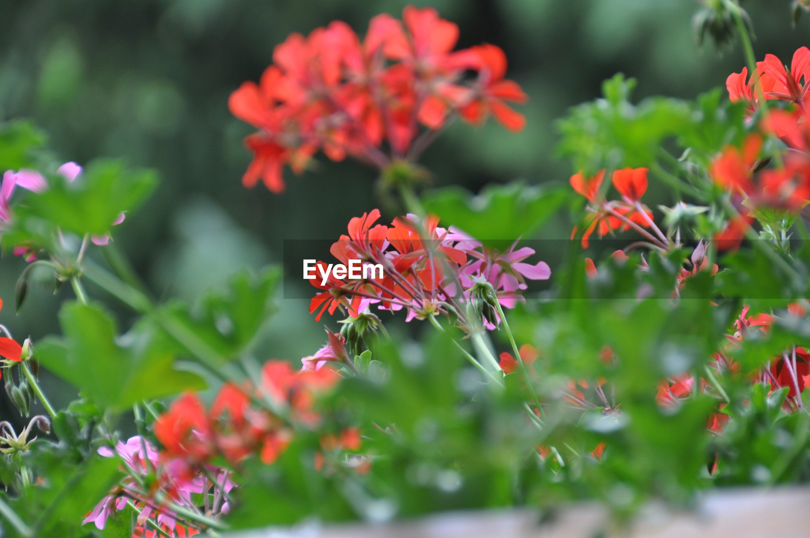 CLOSE-UP OF RED FLOWERS BLOOMING IN PARK