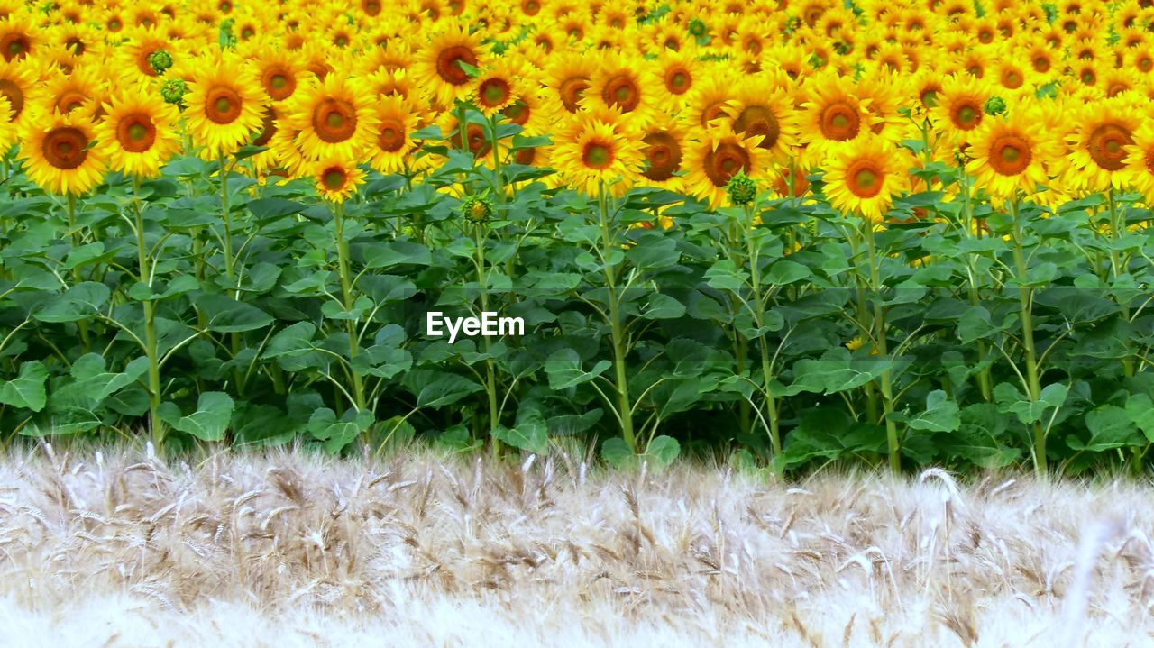 plant, freshness, growth, flower, green color, nature, flowering plant, beauty in nature, day, no people, backgrounds, field, land, close-up, fragility, vulnerability, yellow, full frame, outdoors, agriculture, flower head, sunflower, softness