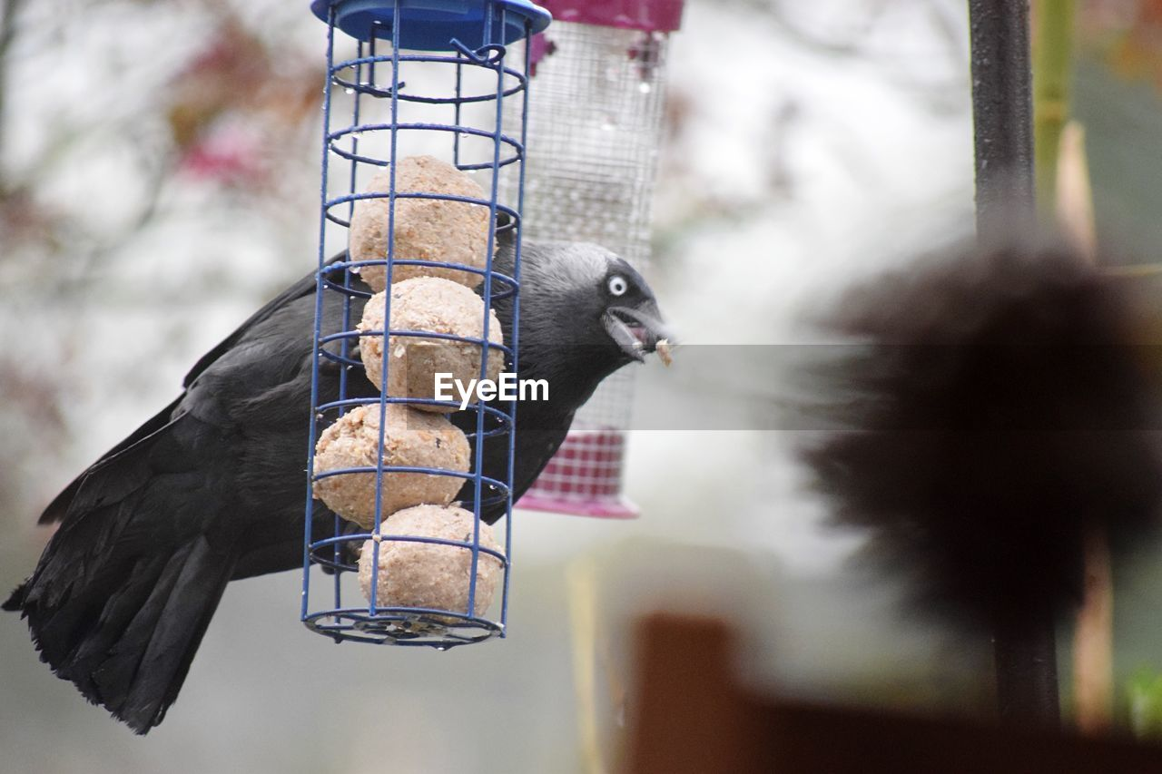 vertebrate, bird, animal, animal themes, bird feeder, animals in the wild, animal wildlife, focus on foreground, hanging, no people, day, one animal, flying, outdoors, nature, selective focus, close-up, metal, spread wings